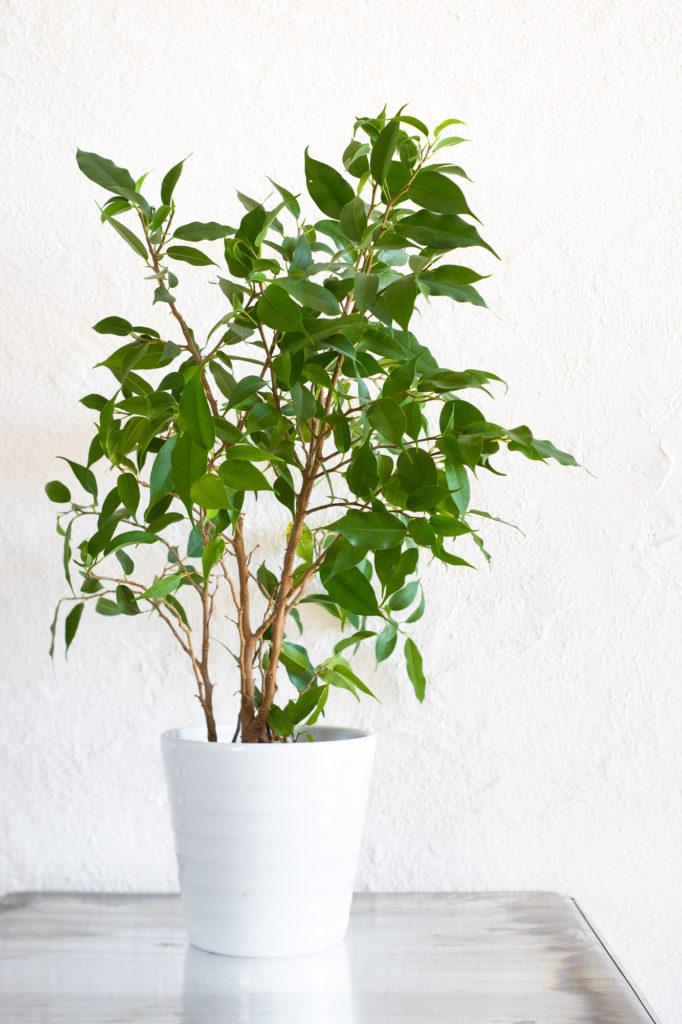 Melanie Wenzel Blog Beste Zimmerpflanzen Saubere Luft Ficus Benjamina Birkenfeige