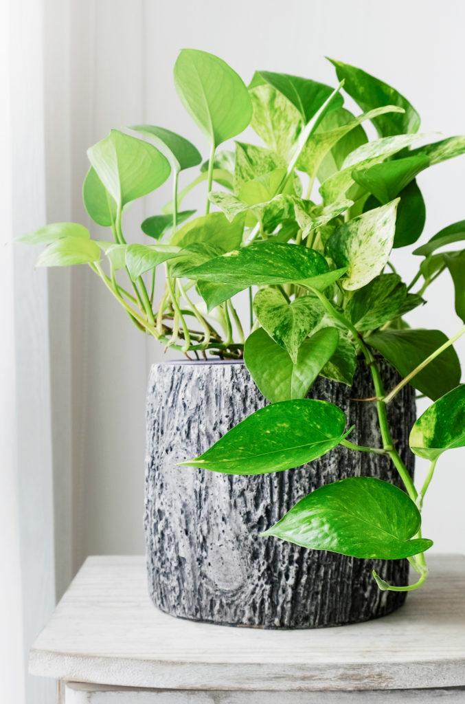 Melanie Wenzel Blog Beste Zimmerpflanzen Saubere Luft Efeutute