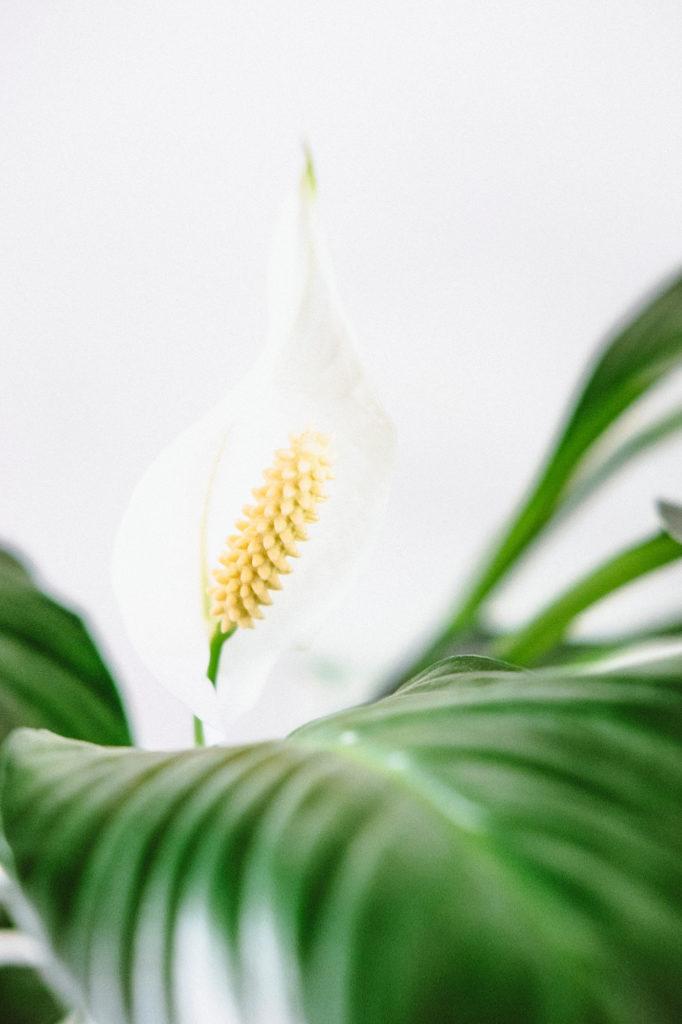 Melanie Wenzel Blog Beste Zimmerpflanzen Saubere Luft Einblatt